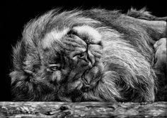 Lion on its Back | Melissa Helene 5x7 scratchboard www.melissahelene.com Scratchboard Art, Scratch Art, Black And White Artwork, White Pencil, Black Paper, Art Festival, Light Art, Big Cats, Pet Portraits