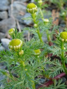 Southern Forager: Pineapple Weed Cheesecake!