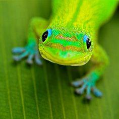 Lime green salamander