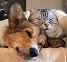 Corgi and Kitty Mundo Animal, My Animal, Animals Beautiful, Cute Animals, Raining Cats And Dogs, Scottish Fold, Funny Cute, Animal Pictures, Cats And Kittens