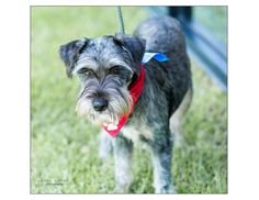 Remington is an adoptable Schnauzer searching for a forever family near Houston, TX. Use Petfinder to find adoptable pets in your area.