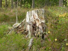 Stump. photo: Johanna Rehn