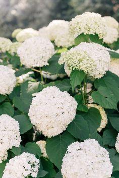 White hydrangeas in bloom.