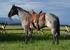Munns Ranch & 3 Bar Quarter Horses Annual Sale - August 31, 2013 in Rexburg Idaho - Blue & Red Roan Quarter Horses - click image to go to their website