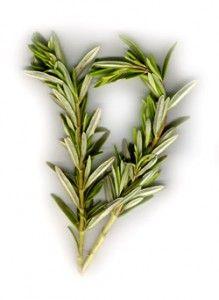 Rosemary may help treat diabetes