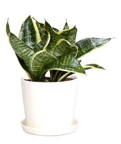 Snake Plant (Sansevieria spp.) | Fill your workspace with some greenery—it might make your workday better. Christopher Satch, The Sill's in-house plant expert, shares the best office plants that can withstand limited sunlight, freezing temps (thanks to that overzealous office AC), and little water.