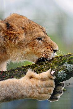 Timba loves her tree! by Tambako the Jaguar, via Flickr