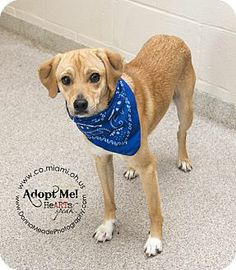 URGENT!  I am at a kill shelter in Troy, OH - Labrador Retriever/Hound (Unknown Type) Mix. Meet Rudy a Dog for Adoption.
