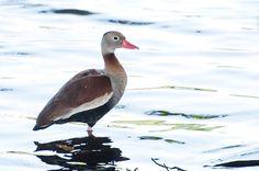 Foto asa-branca (Dendrocygna autumnalis) por Ivan Angelo   Wiki Aves - A Enciclopédia das Aves do Brasil