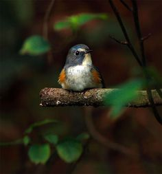 #510 藍鴝小蹲 Rest Quietly.  Siberian Blue-tail.