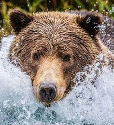 Grizzly in The Water!