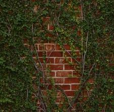 Vines add visual interest and versatility to home gardens. Use vines to provide privacy screening and aesthetic value. There are three basic types of vines: vines that climb by attaching tendrils to . Ficus Pumila, Planting Vines, Fresco, Fachada Colonial, Fast Growing Evergreens, Brick Projects, House Projects, Climbing Vines, Ground Cover Plants