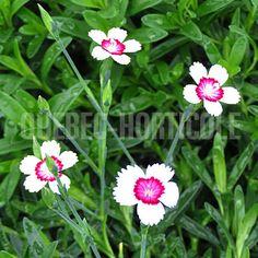 image de Dianthus deltoides Arctic Fire Outdoor Games, Scenery, Photos, Flowers, Conception, Image, Gardens, Flower Colors, Rock Shower