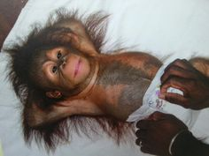 Well-behaved Baby Orangutan having his Nappy changed