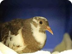A1544962, a Pigeon in CA, needs a home now! See her on @Tori Woodall-a-Pet.com