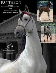 pantheon horse image at DuckDuckGo American Saddlebred, Horse Riding, Equestrian, North America, Horses, Pictures, Animals, Black Gold, Image