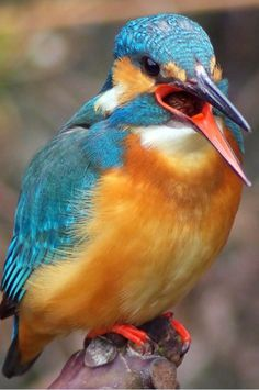 Common Kingfisher having his say