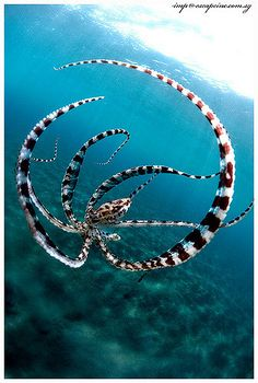 Mimic Octopus going into defensive mode mimicking a lion fish. This photo was a … Mimic Octopus going into defensive mode mimicking a lion fish. This photo was a Scuba Diving Magazine Cover in Underwater Creatures, Underwater Life, Mimic Octopus, Fauna Marina, Water Animals, Baby Animals, Orcas, Tier Fotos, Sea And Ocean