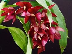 Cycnodes-Wine-delight-Very-fragrant-Awesome-Spectacular-orchids-freeshipping