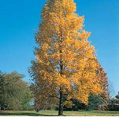 Tulip Poplar Tree.I fell in love with these in the Smoky Mountains.They cover the state of Tennessee and are so pretty in the fall.....Google Image Result for http://www.rebelhome.net/tuliptree.jpg