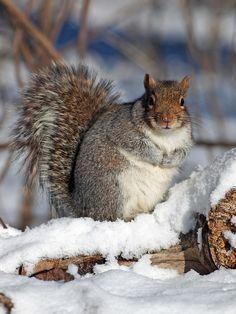 Squirrel in The Snow....I think that is the fattest squirrel i've ever seen, sure is cute though!