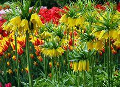 Keizerskroon (Fritillaria imperialis) Symbool van 'de keizer' en macht. In de natuur komen gele en rode  varianten voor. Toen Jezus aan het krus werd genageld bogen alle bloemen het hoofd, behalve de keizerskroon. Hij werd rood van schaamte en boog tenslotte het hoofd.
