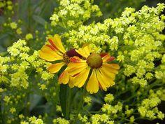 Zu meinen liebsten Gelbblühern gehören Helenium Rauchtopas und Solidaster (den neuen Namen kann ich mir nicht merken)