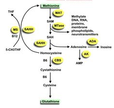 methylation-pathway-1.gif The Glutathione/Sulfation/Methylation Pathway