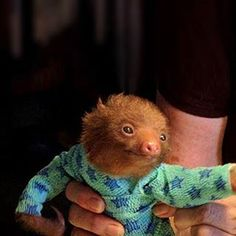 the only thing cuter than a baby sloth? oh right, a baby sloth wearing jammies. Cute Baby Sloths, Cute Sloth, Cute Baby Animals, Funny Animals, Baby Otters, Funny Sloth, Wild Animals, Animal Pictures, Cute Pictures