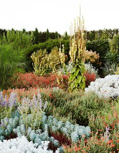 A gorgeous mass planting of dry climate plants including Senecio vira-vira (white/grey foliage at bottom of frame),Euphorbia 'Blue Peaks' and the red flowering Zauschneria garrettii . Photo – Annette O'Brien for The Design Files. Dry Garden, Garden Plants, Summer Garden, Jenny Rose, Types Of Christmas Trees, Landscaping On A Hill, Australian Native Garden, Types Of Herbs, Garden On A Hill