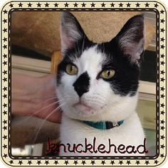Huntington, NY - Domestic Shorthair. Meet Knucklehead a Cat for Adoption.
