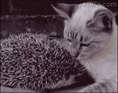 Igel sucht Schutz bei einer Katze