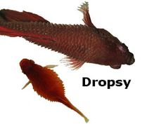 """Dropsy is generally a symptom of something else other than the classic and more noticeable symptoms that are then labeled as """"Dropsy"""". Most often Dropsy is Kidney related, which results in swelling and fluid retention due to poor kidney function results in the classic """"pinecone"""" look of fish sick with Dropsy. Poor osmoregulation is usually the second most common cause, and in more rare instances digestive, and maybe liver malfunction/infections."""