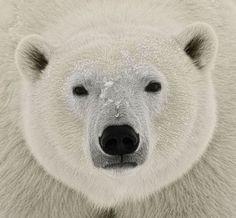 14Polar Bear