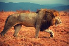 A beautiful Lion - pose #3 Ngorongoro Safari, Tanzania