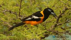 De gele vogel Troepiaal in de bomen bij Playa Lagun. Kijk in mijn blog waar deze te zien zijn Blog, Animals, Animales, Animaux, Blogging, Animal, Animais