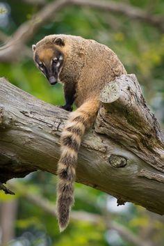 Ring-Tailed Coati @ Durrell Wildlife Conservation Trust