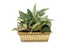 The Favorite Ornamental Plants or Things to Grow in a Greenhouse Ficus Pumila, Kalanchoe Blossfeldiana, Hosta Plants, Houseplants, Foliage Plants, Calathea, Plants Poisonous To Dogs, Air Filtering Plants, Daffodils Planting