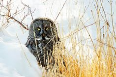 Great Gray Owl playing Peek-a-Boo ~ Photo by Carrie M Groseclose
