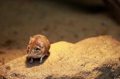 Elephant Shrews, where have these incredible creatures been my whole life?