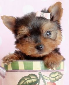 Browse tiny Teacup, Micro Teacup and Toy Yorkshire Terrier puppies for sale. Browse to find the tiniest and cutest Yorkie puppies for sale in South Florida area Teacup Yorkie For Sale, Teacup Cats, Yorkie Puppy For Sale, Teacup Puppies For Sale, Cat Urine, Cat Fleas, Toy Puppies, Cute Puppies, Yorkie Puppies