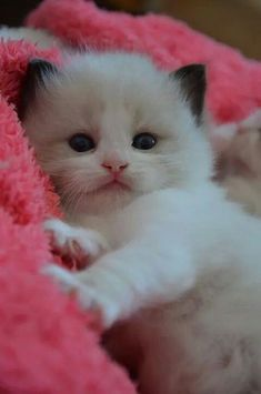 These cute kittens will make you amazed. Cats are fascinating creatures. Kittens And Puppies, Cute Cats And Kittens, I Love Cats, Crazy Cats, Kittens Cutest, Fluffy Kittens, Ragdoll Kittens, Persian Kittens, Pretty Cats