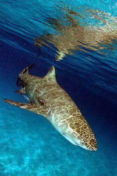 Shadow Dog - sea and ocean life Orcas, Shark Bait, Delphine, Underwater Life, Deep Blue Sea, Ocean Creatures, Shark Week, All Sharks, Sea World