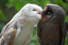Küssende Schleiereulen -  A normal and a melanistic Barn Owl from Germany