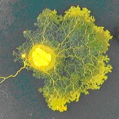 Network organization in slime molds