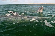 Santuario de las ballenas baja California Mexico Mexiko Mexique Messico 멕시코  墨西哥  מקסיקו Мексика メキシコ whales
