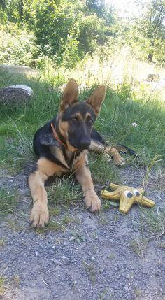 GSD German Shepherd Puppies, German Shepherds, Gsd Puppies, That Way, Cute Animals, Rock, German Shepherd Pups, Pretty Animals, Shepherd Dogs