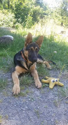 GSD German Shepherd Puppies, German Shepherds, Gsd Puppies, Cute Animals, Rock, German Shepherd Pups, Pretty Animals, Cutest Animals, Skirt