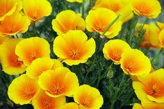 Amapolas californianas o Californian poppies..hay amarillas, anaranjadas y blancas o cremas.Eschscholzia californica, especie de papaverácea (Papaveraceae), perteneciente a la subfamilia Eschscholzioideae oriunda de California (EE.UU.) y Baja California (México),también se cultiva en otras partes del mundo.