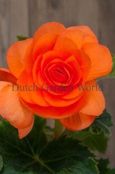 Begonia Dubbel Oranje - Dutch Garden World